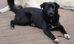Cinders is an absolutely beautiful 18 month old medium sized female Lab-Border Collie mix. She is well behaved, crate trained, spayed and vaccinated, great with other dogs and ignores cats. Cinders LOVES kids and people and loves to play outside with