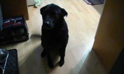 Black 5 year old female (neutered) lab-chow mix - free. She walks well on a leash and obeys basic commands. Quite hyper when company comes, but very friendly. We are only looking for a new home for her because she has not adapted well to my cohabitation.