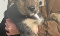 Puppies looking for a good home and lots of attention!!!  They love to play with children.There are 4 out of 10 left.   1.Male Leader    2.Female Kisha 3.Female Trisha 4.Female Holly                            please call to make arrangements to see the
