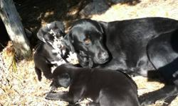 Only one left- 1 black female - bloodline has black and chocolate lab/blue tick hound /husky-will grow to lab size-very good dogs.