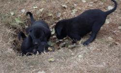 Puppies are ready to go to good homes. Mom is purebred black lab,Dad was a rescue (not sure of breed).These puppies have been raised around children, they are very playful and loving.