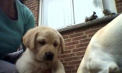 lab puppies for sale,3 black,1 yellow  the yellow is a female,and the 1 black is a male.and the rest are females. they have been vet checked and given their first needles. great with children,and very loyal. need to go to their forever loving home.serious
