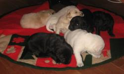We have six puppies for sale mom and dad on site .Puppies will come vet checked 1st shots and de-wormed 5females one white male black male is already spoken for.Will be having viewing of the pups in new year 100.00 deposit to hold for pickup