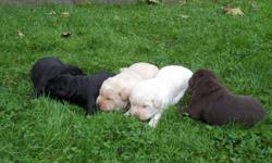 2 lab puppies for sale, one chocolate lab and one yellow lab, both female. Father is chocolate lab with papers and the mother is a yellow lab. The other three puppies are already sold. email if interested.
