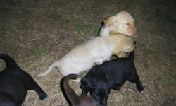 lab puppies for sale ready for new homes , mother is a black lab and father is a yellow lab , parents are really good dogs .