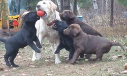 Hello, We have 7 beautiful puppies wanting good homes. There are 2 Chocolate and 5 Black puppies. Each one has a great personality and are very well behaved. They stay close to the house, and when you approach .. usually they will come and either rub