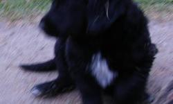 Lab/Pyranees puppies for sale.  3 females (1 black, 2 yellow).  Make good family dogs. Born Aug. 15th Call 428-2486 or 862-8474