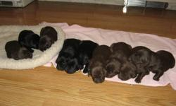 9 Lab X Pointer puppies ready to go Jan 25, 2012. $100 without shots or $160 with first set of shots. Will be started on house training aswell.   1 black male and 4 chocolate males 2 black females and 2 chocolate females.   Mother is a pruebred Chocolate