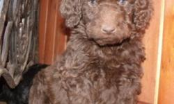F1B Labradoodle puppies- blks, chocolate, and toffee-4 males, 1 female. These guys are going to have wavey-to very curly coats and will be non-shedding and hypoallergenic. Doodles are wonderful family pets, great with kids, very social, smart and easy to
