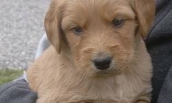 Labradoodle puppies only 3 left will be ready to go the week of December 8th, just before Christmas. 1 Blonde male, 1 black male, and 1 blonde female left.  1st vaccine, de-wormed, vet checked and health guarantee.  $600.00  .  Mom is on site, but not
