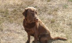 CKC reg male labrador for sale. He is 6 years old. Has a great temperemant and loves people! He understands all the commands needed and is also trained for hunting. Looking for a good new home. $350.00