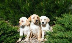 GORGEOUS, HEALTHY YELLOW LABS, READY FOR LOVING HOMES NOW. HAVE HAD 2 DEWORMINGS AND FIRST VACCINATIONS, COME WITH 1 YEAR HEALTH GUARENTEE.