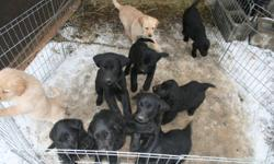 Three black male Labs, One female black Lab. Have first shots and deworming. Ready to go. Asking 350. Two female black Labrador Retriever, two male black Lab Retriever and one gold male Lab Retriever. Have first shots and deworming. Ready to go. Asking