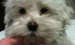I AM A FEMALE MALTESE X POODLE LOOKING FOR A FOREVER HOME.  I COME WITH MY FIRST SET OF SHOTS.