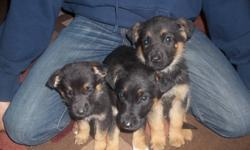 I have 3 males and 5 females ready to go to a new home the third pic is the mother call manny at 204-878-4850