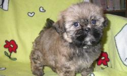 We have 2 beautiful lhasa-apso x shih-tzu pups for sale there are 2 girls left -Will grow to about 10 to 12 pounds-There are Hypo-Alergenic-Non-Shedding-Great with children-Good with other dogs-Ideal for small apartment or condo-Have had there 1st set of