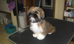 CKC registered Lhasa Apso puppies 4mos. up to date on needles,vet checked 6 weeks free insurance. crate trained well on the way to being house trained very outgoing .