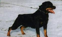 I am looking for a Purebred german rotti for my uncle as our dog died recently. If you have one available for free just email me thanx  And PS (no tail just a stub thanx) plz excuse my crazy emeil adress