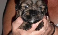 Four puppies looking for a new home.One girl and three boys. **Two female puppies sold** Mother- Pure bred Shih- Tzu Father- Pure bred Miniture Schnauzer. Puppies will be ready for new homes after their first set of needles on December 21st. This is their
