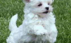 hello we are looking for a small lap dog for sale in the price range of 100 to 400 dollars... preferbly a Shi tzu Yorkie cross or a maltese cross or close to thoses breeds. we have posted some pictures of examples of what were looking for.. please respond