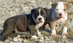 not interested in boxers inless they have 3/4 bulldog.     and anything that looks bully short and stocky. or bullmastiff types. I like crosses between anything bully. Price is not an issue.. looking for a pup in mid january ..   also interested in