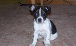 We have two little Chihuahua x  Boston Terrier girls left-   They will not grow much more --no  shots   Feel free to email for more info   *first pic is now sold* last girl is sold pending pick-up