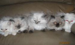 Hello and Happy Holidays!    We have 5 absolutely gorgeous purebred Himalayan kittens for whom we seek forever homes.  We are not a breeder; these are our pets and the kittens have been family raised.  The mother is a seal tortie and the father a flame