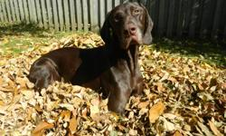 It is with an extremely sad heart that due to unfortunate circumstances I must find my 2 year old German Shorthaired Pointer a new home. He needs a loving home with an active owner. He is a super friendly dog, infact I don't think i've met a friendlier