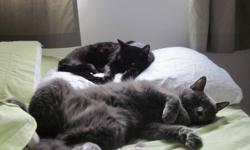 Looking to rehome my two beautiful cats. Luke is 8 years old, black with a few scattered whites, needs veterinary approved food and lots of cuddles. He would be happy with a mature person/persons being an only pet who stays indoors. Leia is almost 3,