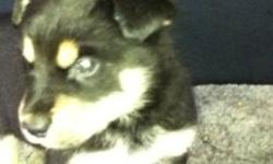 We are selling Twitch's (mom) fist litter of puppies! She had 3 boys and one girl, the males are Malamute X Rottweiler and the female is Malamute cross Husky!(female is the last 2 pics) We are looking for loving homes for these amazing and well tempered