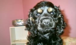 Adorable Non-Registered American Cocker Spaniel Puppy Born August 24. Bailey is the only puppy left looking for his forever home from a litter of six. He is almost completley black with tan points above his eyes and some tanning on his legs This adorable