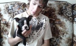 """HI MY NAME IS SAMBO. I AM A MALE BOSTON BLACK AND WHITE. I COME WITH A VET CEHCK AND 1ST VACCINATION. I WILL ALSO HAVE A TOY, BLANKET AND SOME FOOD (GRAIN FREE PUPPY """"NOW"""") I WILL BE A SMALL GUY. MY MOM IS 14 LBS AND I WAS THE SMALLEST PUPPY IN A LITTER"""