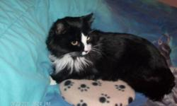 Breed: Domestic Long Hair Domestic Long Hair-black and white   Age: Adult   Sex: M   Size: M Sylvester is one of the cats we TNR'ed to Fisherman's Cove in SEptember 2009. He was fed twice daily by volunteers, and when he started limping in January 2011 we