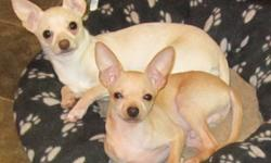 Shy little White male chihuahua, would be best suited to an older female or someone with a stay-at-home lifestyle. Has been vet-checked and has had shots and deworming. Raised in family home Used to cats Good temperment Likes to cuddle Looking for his