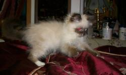 For sale very friendly male himalayan  kitten  $350 firm !!