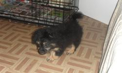 13 week old pom shih for sale black with brown markings on his face, belly and all 4 paws.   He is a very lovable and cuddley puppy. We picked him up about 2 weeks ago and have to sell him due to our 3 year old dog and 2 year old child being very