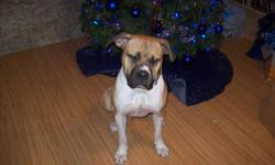 FOR SALE  MALE PRESSA MASSIFF  11/2 YEARS OLD  LOVES CHILDREN,GETS ALONG WITH OTHER ANIMALS  ASKING-$150.00  PHONE-403-559-9648
