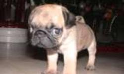 We have one adorable male fawn puppy with a light black mask. He has been  vet checked warranty first shots ,a guarantee and dewormed x3.. We family raise our pugs around children and other pet.He is very playful and cuddly.parents are on site to see. For