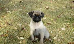 MUST GO!  This little guy is so ready to go to his new home!  Playful, cuddly and loves people.  Purebred fawn parents. Very good with children, handled lots. Price negotiable, we want him in his new home by this weekend! 780-922-0092