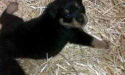 I have 5 male rottweiler puppies for sale. they have been vetchecked, dewormed, first shots, tails docked and dewclaws removed. They are currently 7 weeks old and ready to go to their forever homes, please contact if you have any further questions.