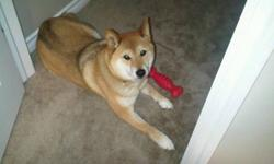 Looking to for a good home for a 5 year old Shiba Inu   Important: He does not get along with cats and needs plenty of exercise and attention.   A well loved dog. Looking to place him with the right owner.   Only serious inquiries will be replied to.