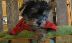 This little guy is ready for his forever home,  super loving and easy going little one.He will be not tiny,between 6-8 lb fully grown,Not huge but great with family.His mom is a yorkie,Dad is a Biewer,which is a german Yorkie that have white on them.He