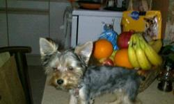 I have 1 male yorkie for sale 4 months old, he needs a forever home, my sister just had a stroke and cannot take care of him any longer and I have 3 yorkies already so its too much for me. if interested please call