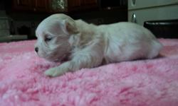 MALTESE   New Arrival?Born August 26,2011 Only 1 left 1 GIRL Available Mid October Comes Vet Checked, Dewormed, First Shots And Puppy Package $200 Deposit Required To Hold Your Puppy  519-335-3310 (Mother in second last pic, father in last pic)