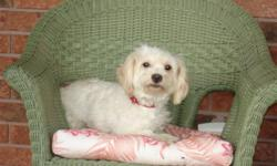 We have a male maltese cross for sale named Rocky. He is full of energy and loves kids.