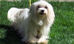 Polly is a pure white non registered 6 - 7 year old spayed female maltese.  She does not shed.  Polly is looking for a forever home to older people who will have the time to spend with her, cuddle and go for walks.  She has a bit of special needs as she