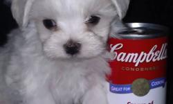 I have two stunning Male Maltese puppies, which are ready for New Years. They have their shots and deworming and health records with good health. They are kennel trained and when you get up in the morning they are always  very excited to see you!! They