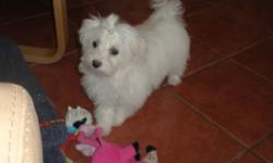 8 MONTH OLD MALE MALTESE. WAS GOING TO KEEP HIM BUT HUBBY SAID NO. HAPPY LITTLE GUY WITH A QUIET PLAYFUL NATURE. ALL VACCINES TO DATE. GOOD LITTLE BOY THAT IS A GREAT COMPANION
