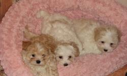 HURRY FAST only 2 left....OH now only 1 left. We had 3 adorable maltese/shih tzu puppies. ONLY 1 left. They are non-shedding, hyperallergenic. They had there first set of shots, dewormed and first vet check up. Please call to view. 403-341-9830