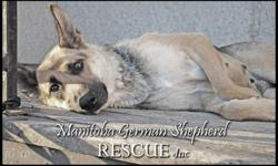 Manitoba German Shepherd Rescue has many dogs waiting for their forever homes! We have purebreds and Shepherd crosses, puppies, adults and seniors available to approved homes. All of our dogs are spayed or neutered (or will be once old enough) and fully